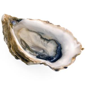 oyster-singleht