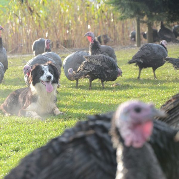 Copas-turkeys
