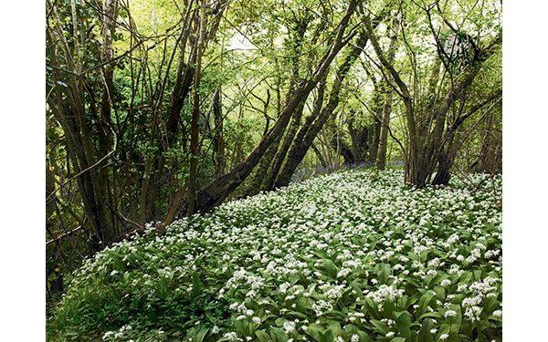 wild-garlic-field