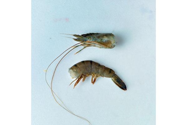 how-to-prepare-fresh-prawns-1