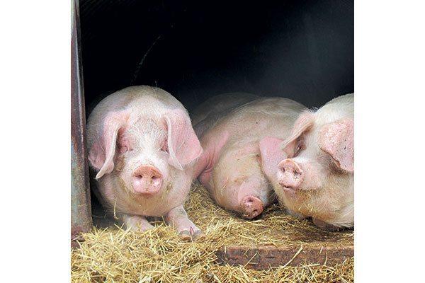 The-pig-breeders