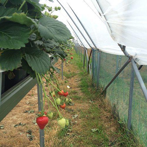 more-berries-hanging