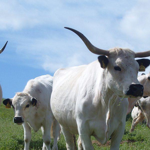 RSB-cows