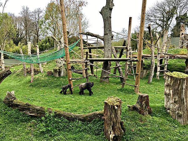 Durrell-Wildlife-Park---gorillas