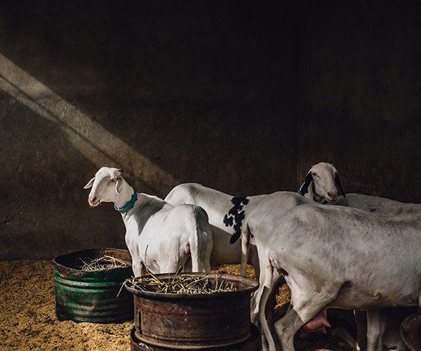 Field_Guillaume-Flandre_Sheeps-in-Dakar_Hi-Res