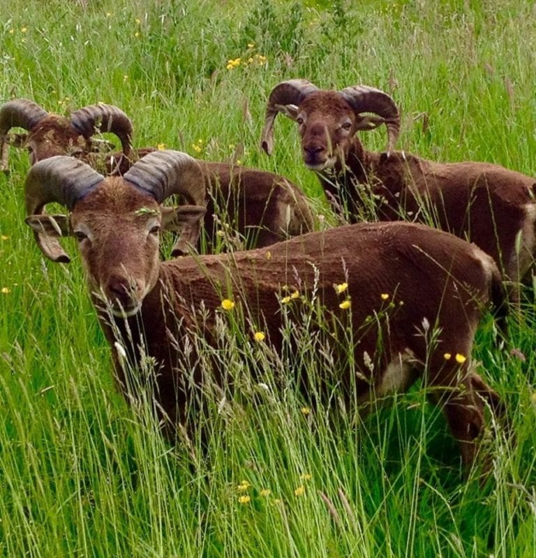 Mouflon Rouge Castlemilk Moorit Products
