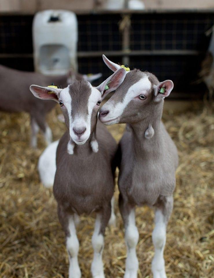 Cabrito Goat Meat