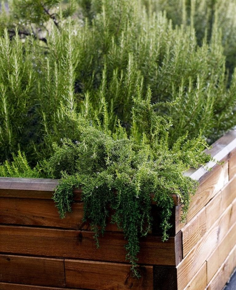 How to grow perennial herbs