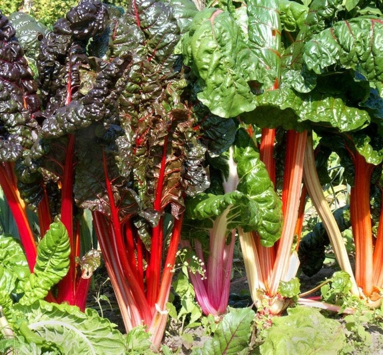 How to grow chard