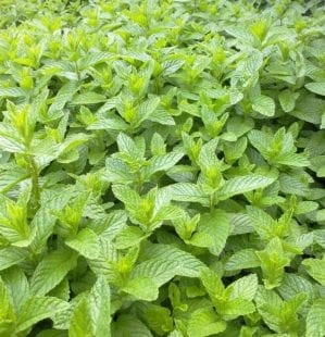 How to grow mint