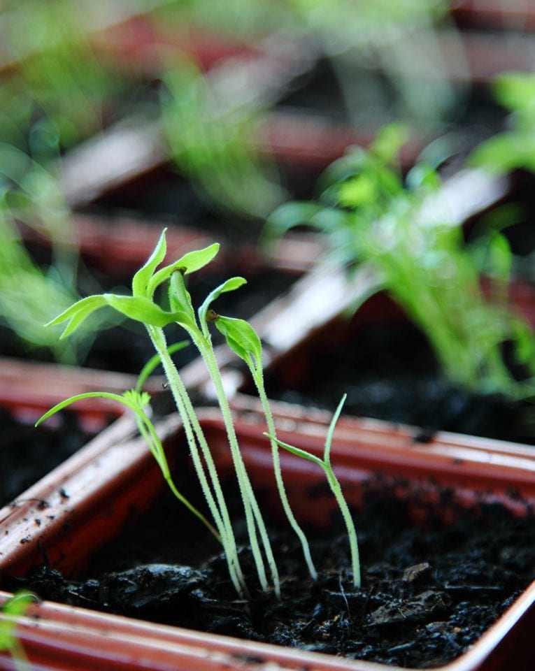 Sowing from seed