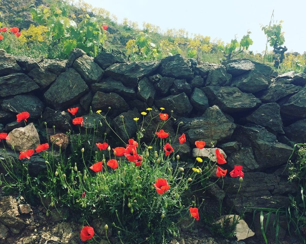 Image of poppies in Crete