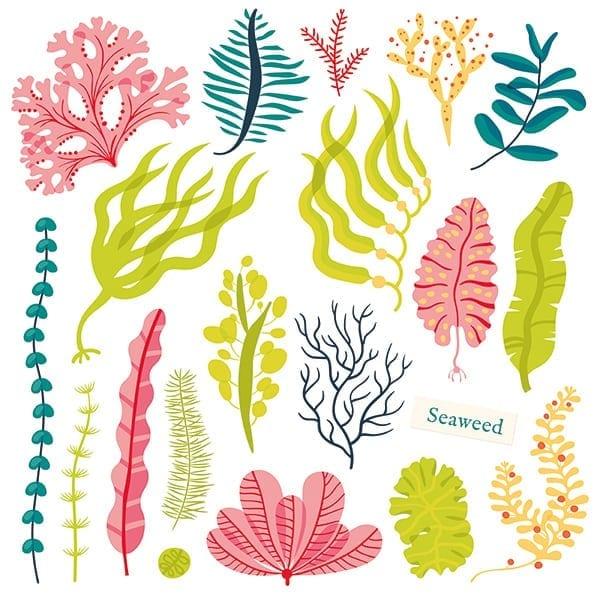 illustration of seaweed
