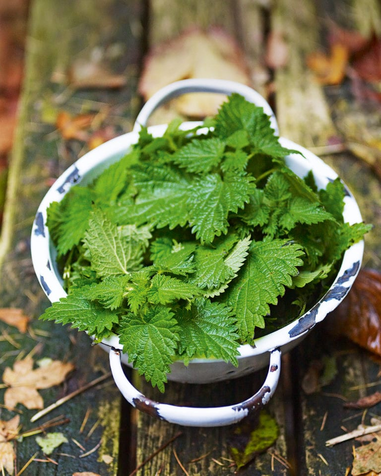 How to forage for nettles and how to use them in recipes